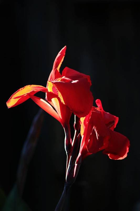 Flower Art Print featuring the photograph Red Glow by Peggy Burley