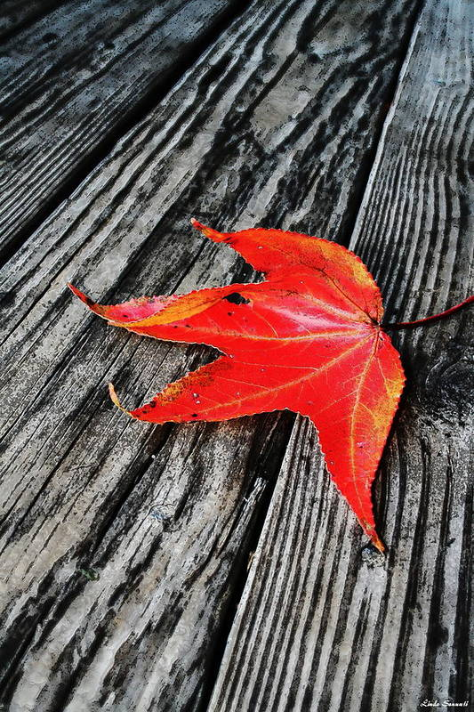 Nature Art Print featuring the photograph Red Leaf by Linda Sannuti