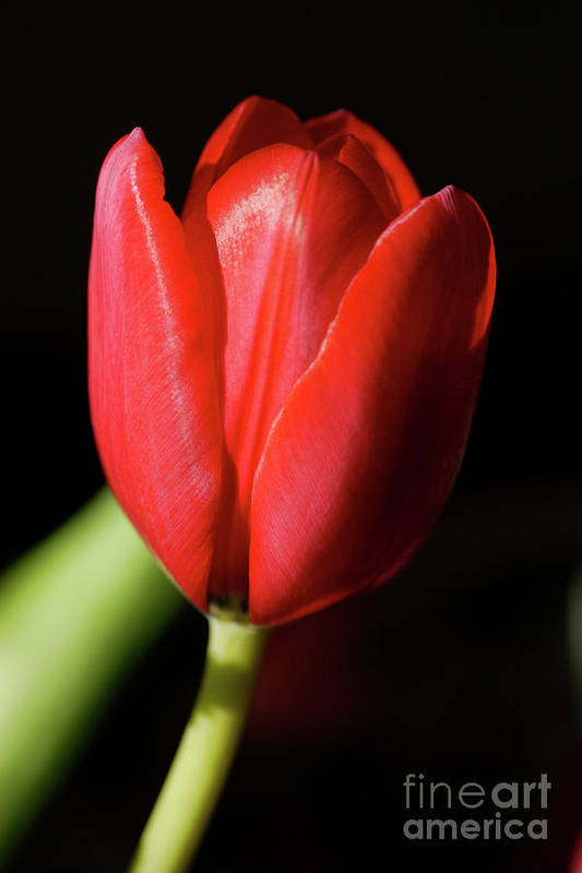 Tulip Art Print featuring the photograph Red Tulip 2 by Susan Lipschutz