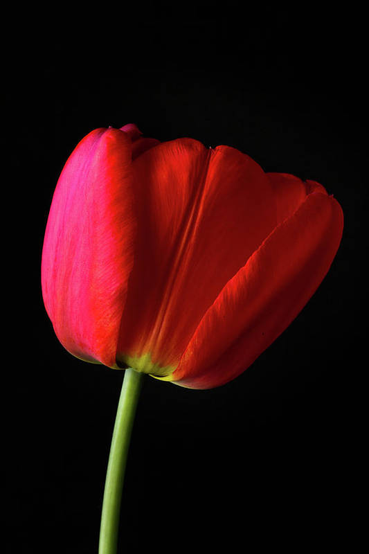 Tulip Art Print featuring the photograph Red Tulip by Shawn O'Neill