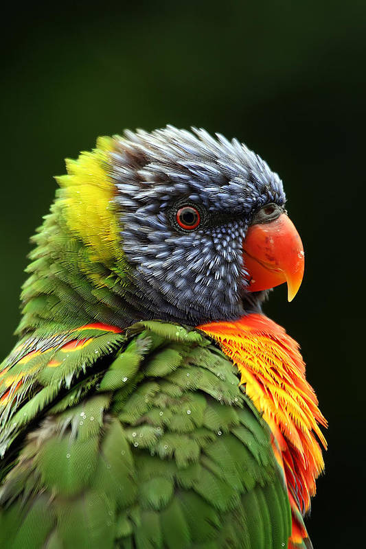 Rainbow Lorikeet Art Print featuring the photograph Reflecting In The Rain by Lesley Smitheringale