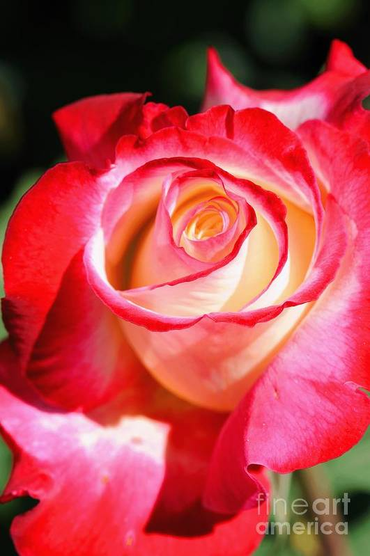 Rose Art Print featuring the photograph Rose by Dennis Hammer