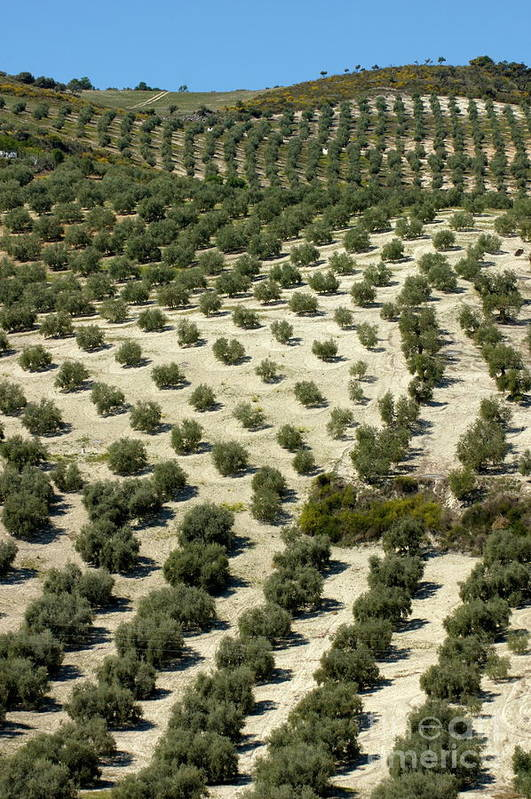 Agricultural Art Print featuring the photograph Rows Of Olive Trees Growing In The Village Of Baena by Sami Sarkis