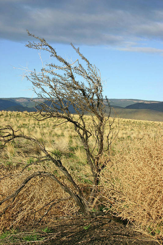 Pictures Of Washington State Art Print featuring the photograph Sage Brush And Tumble Weed by Wendy Raatz Photography
