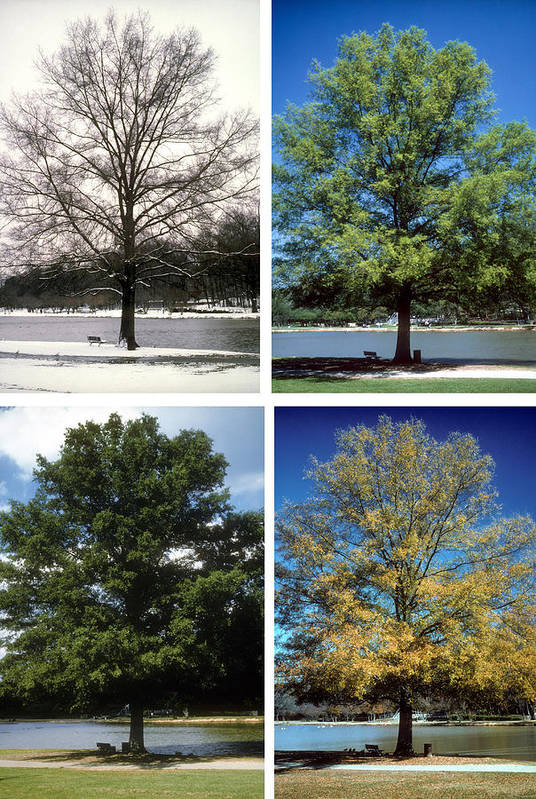 Tree; Green; Summer; Spring; Fall; Winter; Snow; Scenic; Lake; Freedom Park; Charlotte; Nc; Seasons; 4 Seasons; Four Seasons; Nature; Ecology; Global Warming; Time; Passage Of Time; Charlotte; Nc; North Carolina Art Print featuring the photograph Seasons Of Time by Gerard Fritz