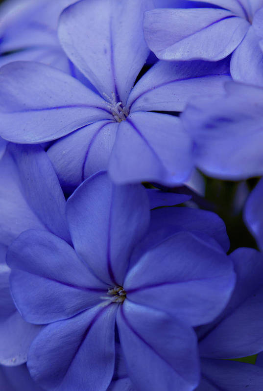 Plumbago Art Print featuring the photograph Shades Of Blue by Bob Johnson