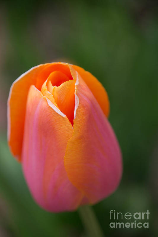 Flowers Art Print featuring the photograph Sherbet Tulip by Beverly Tabet
