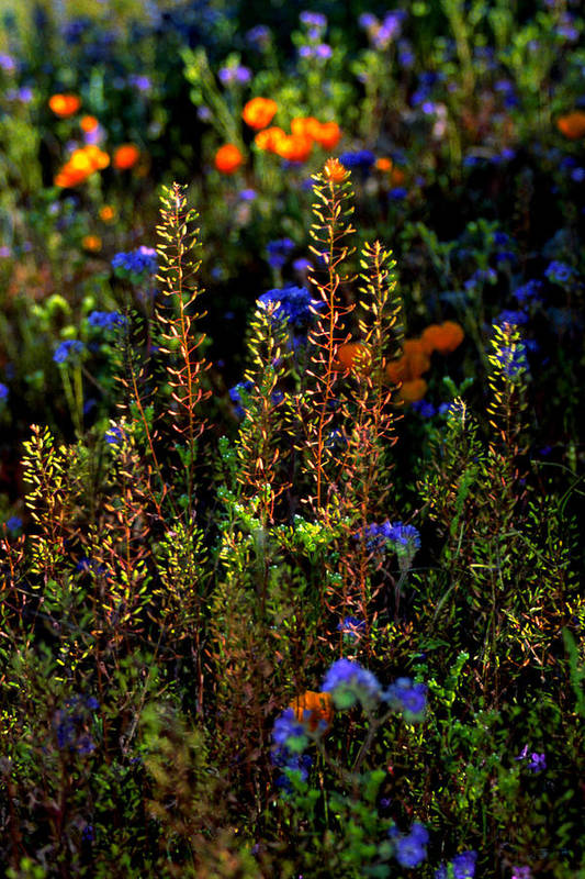 Flowers Art Print featuring the photograph Shimmers by Randy Oberg