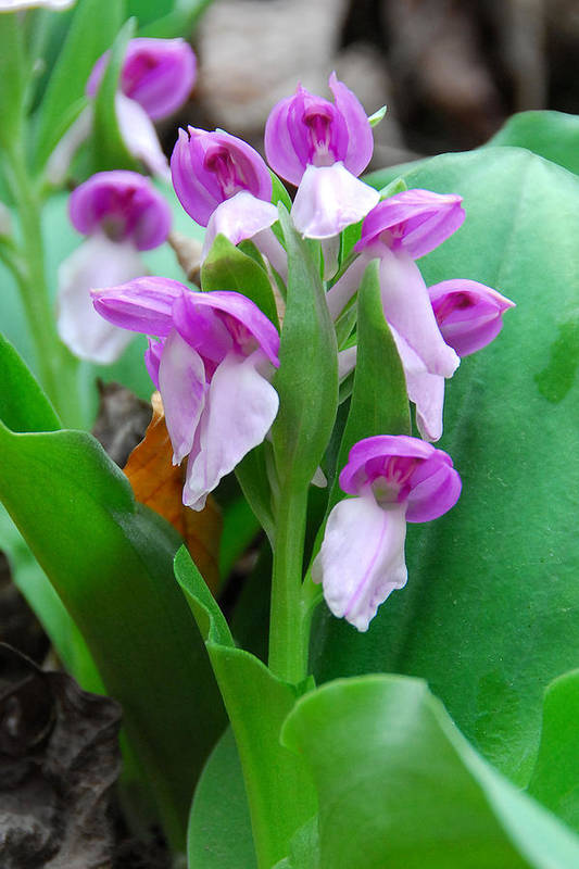 Showy Orchis Art Print featuring the photograph Showy Orchis Close Up by Alan Lenk
