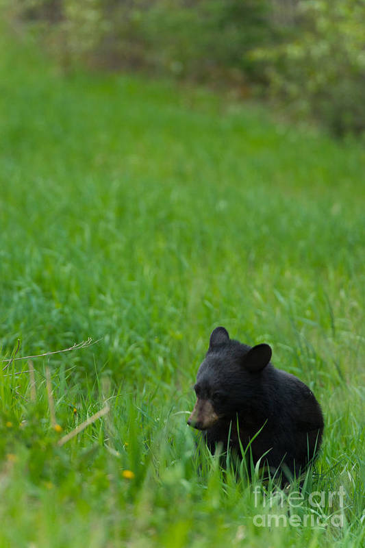 Black Bear Art Print featuring the photograph Shyness by Birches Photography