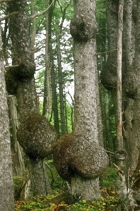 Spruce Art Print featuring the photograph Sitka Spruce Burls On The Olympic Coast Olympic National Park Wa by Christine Till