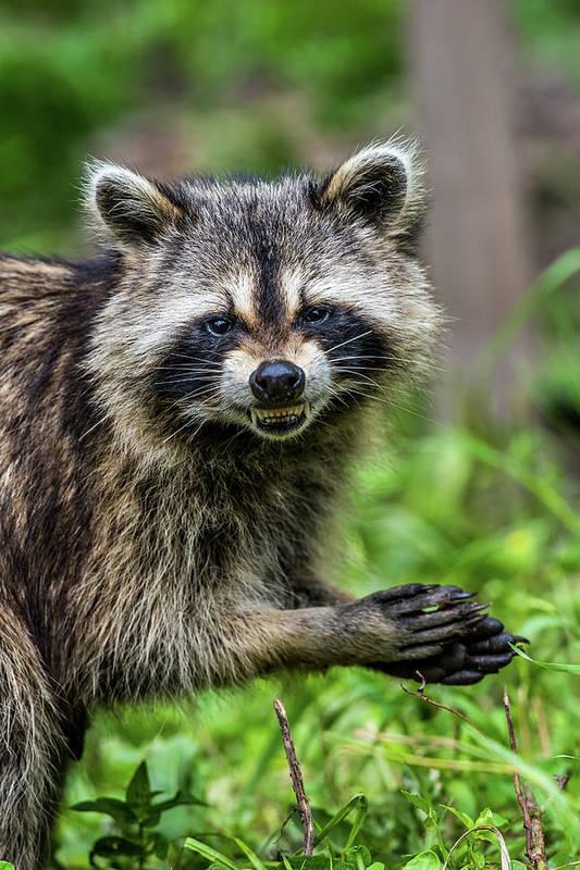 Smiling Raccoon Art Print By Paul Freidlund