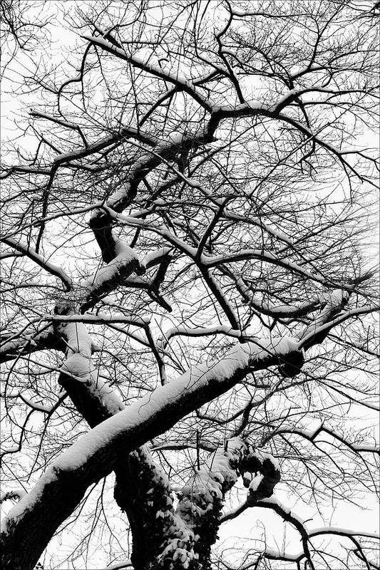 Snow Art Print featuring the photograph Snow And Trees 2 by Robert Ullmann