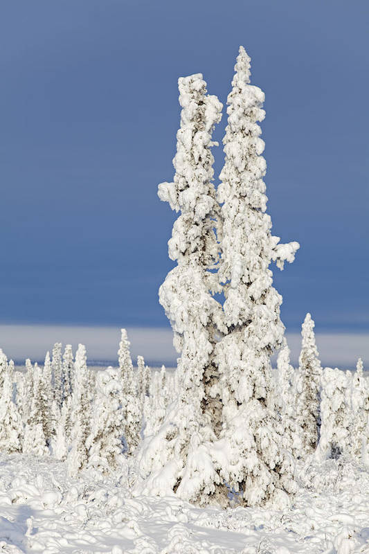 Winter Art Print featuring the photograph Snow Covered Spruce Trees by Tim Grams