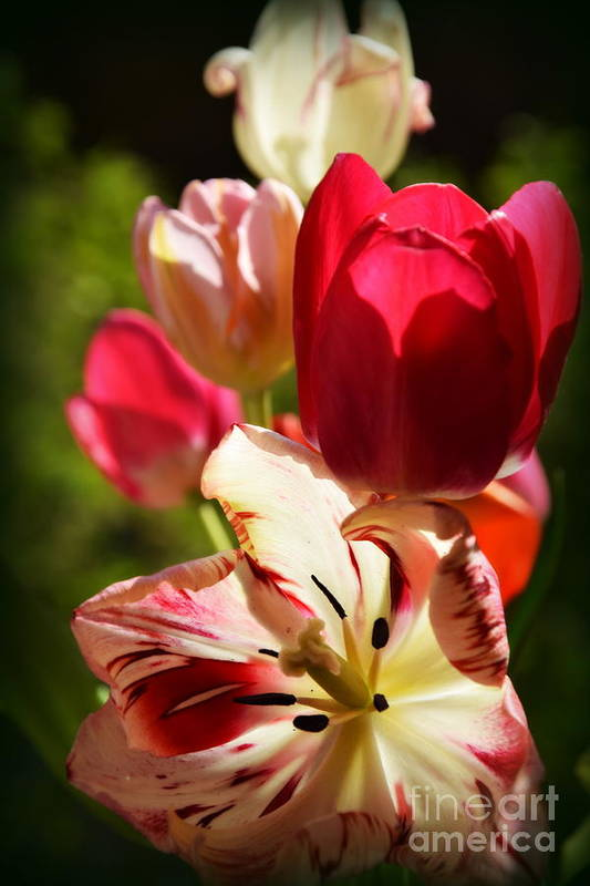 Tulips Art Print featuring the photograph Spring Flowers by Camelia C