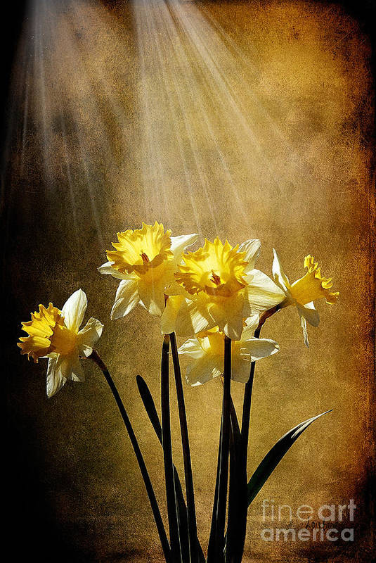 Daffodils Print featuring the photograph Spring Sun by Lois Bryan