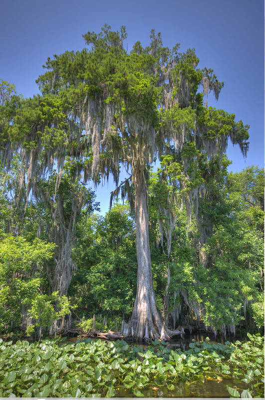Tree Art Print featuring the photograph St. Johns Cypress by Andrew Armstrong - Mad Lab Images
