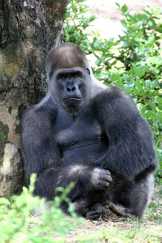 Gorilla Art Print featuring the photograph Stare Down by Mary Haber