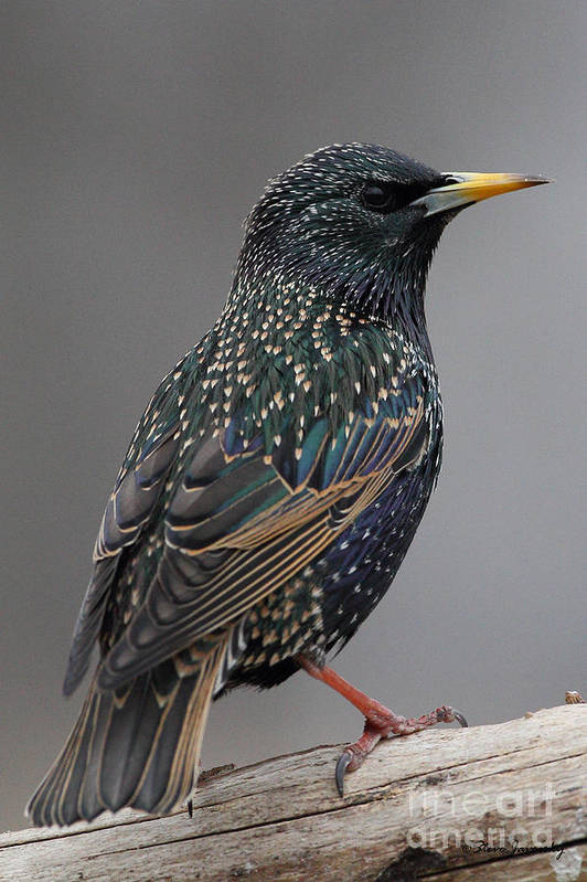 Starling Art Print featuring the photograph Starling by Steve Javorsky