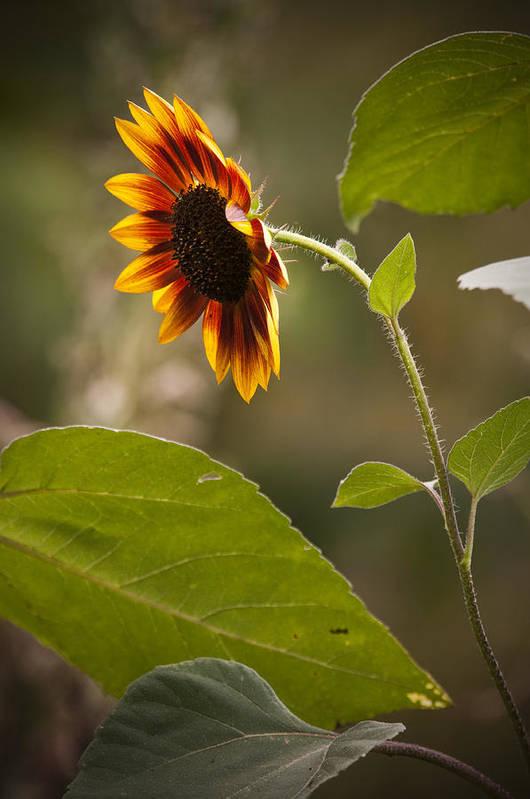 Flower Art Print featuring the photograph Sun Flower by Chad Davis
