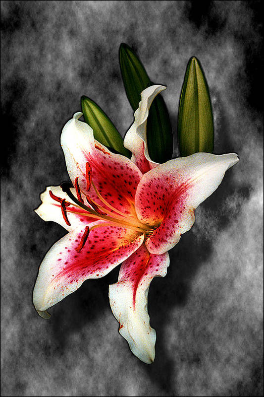 Flower Art Print featuring the photograph Sun Gazer Lily by Roger Soule