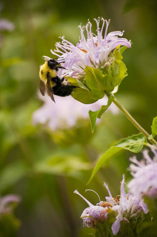 Bumble Bee Art Print featuring the photograph The Bumble Bee by Chad Davis