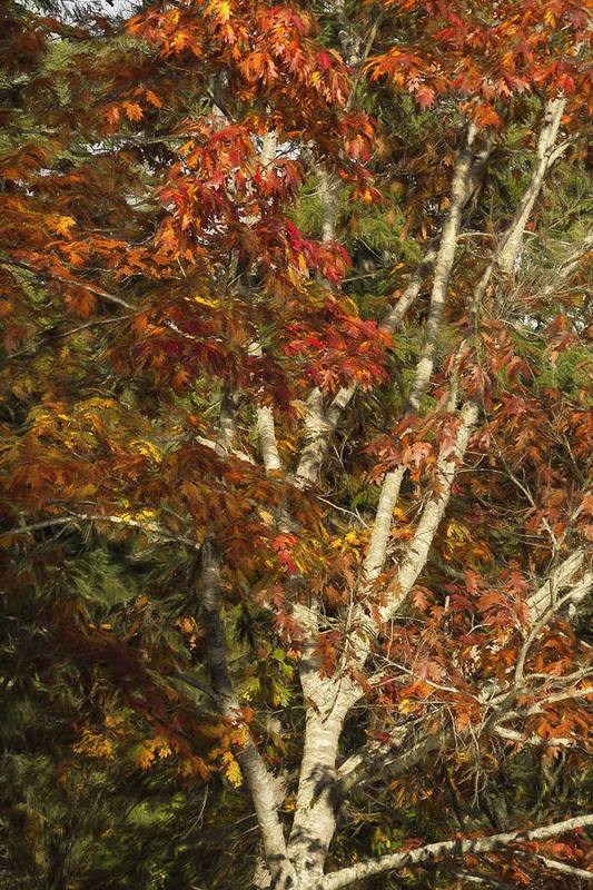Autumn Art Print featuring the photograph The Dying Leaves' Final Passion by Belinda Greb