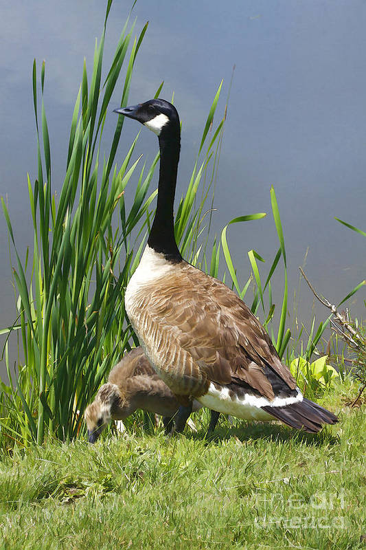 Goose Art Print featuring the photograph The Protector by Deborah Benoit