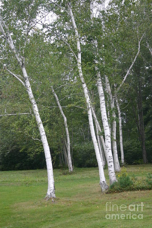 Landscape Art Print featuring the photograph The White Birch by Dennis Curry