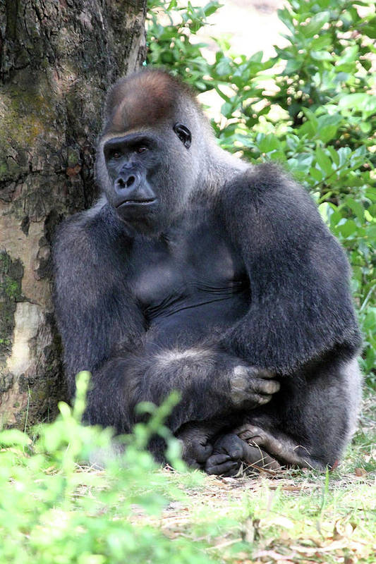 Gorilla Art Print featuring the photograph Thoughtful by Mary Haber