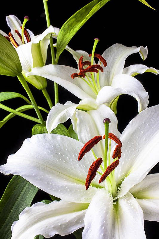 White Tiger Lily Art Print featuring the photograph Three White Lilies by Garry Gay