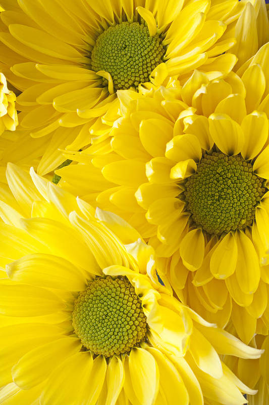 Three Yellow Daisies Mums Cremon Print featuring the photograph Three Yellow Daisies by Garry Gay