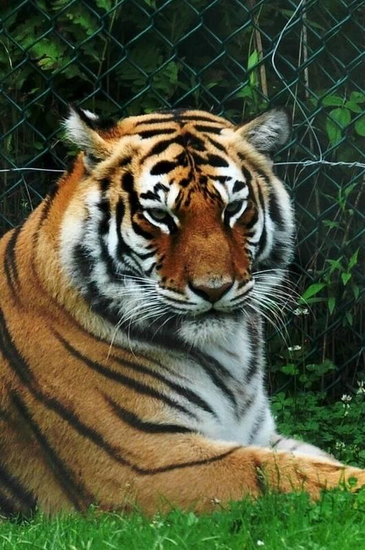 Tigers Art Print featuring the photograph Tiger by Jo-Ann Matthews
