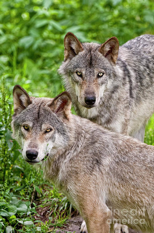 Michael Cummings Print featuring the photograph Timber Wolf Pair by Michael Cummings