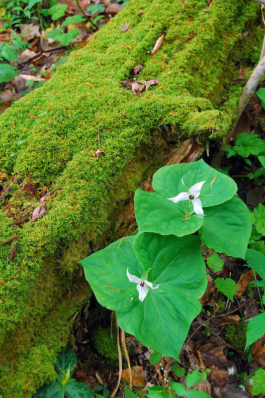 Trillium Art Print featuring the photograph Trillium Pair By Mossy Log by Alan Lenk