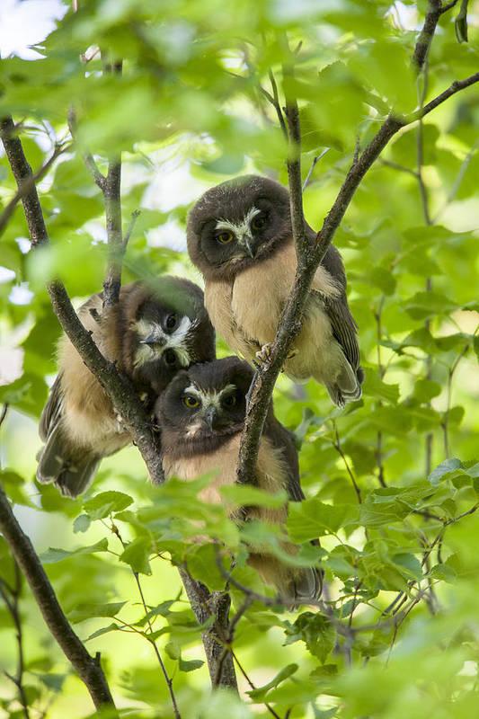 Alaska Print featuring the photograph Triple Cute Saw-whet Owls by Tim Grams