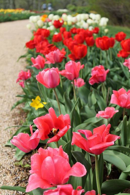 Tulips Art Print featuring the photograph Tulips by Vicki Dreher
