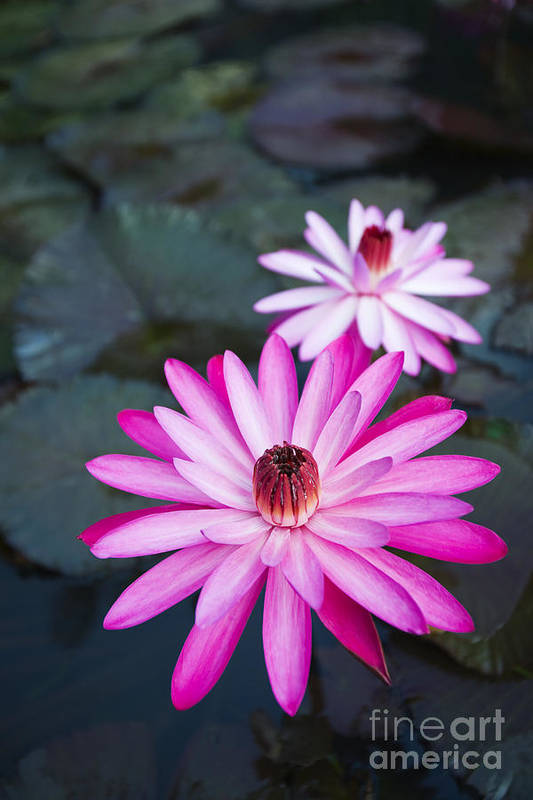 Beautiful Art Print featuring the photograph Vibrant Waterlilies by Dana Edmunds - Printscapes
