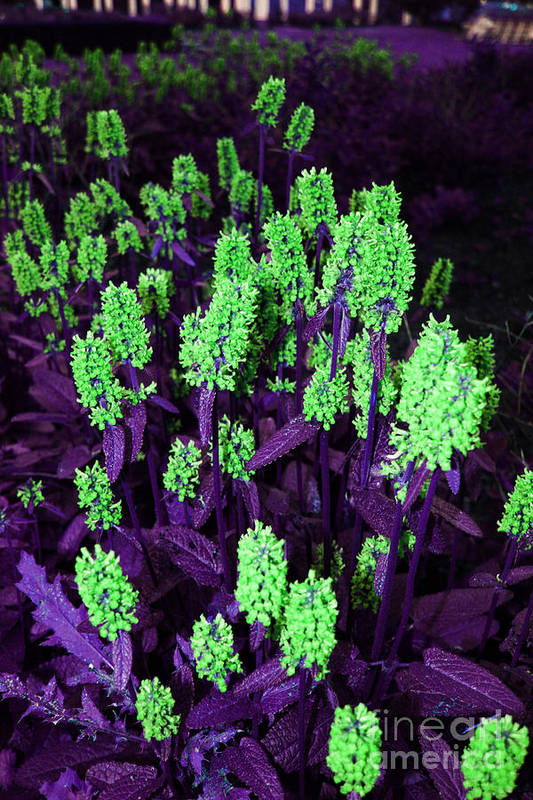 Art Print featuring the photograph Violet Dream On Green by Jamie Lynn