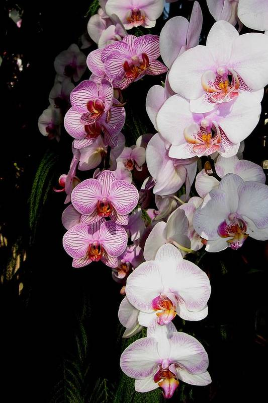 Orchid Art Print featuring the photograph Waterfall by Betnoy Smith