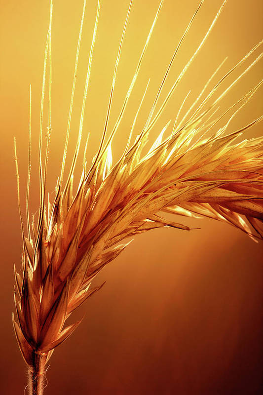 Wheat Art Print featuring the photograph Wheat Close-up by Johan Swanepoel