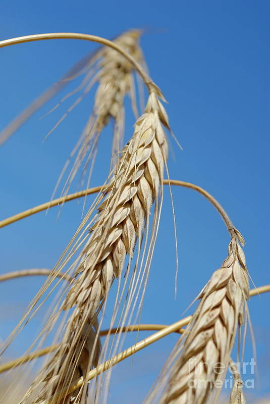 Growth Art Print featuring the photograph Wheat Crop by Sami Sarkis