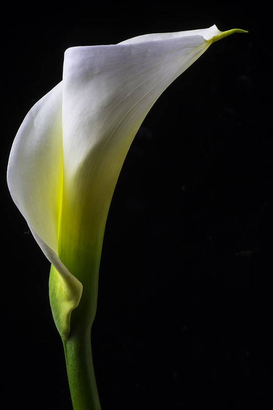 White Calla Lily Still Life Art Print By Garry Gay