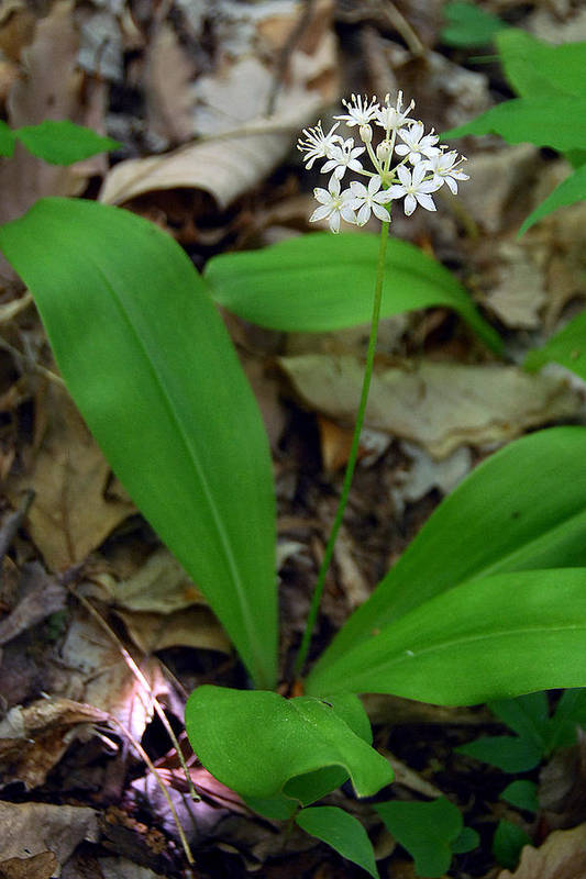 White Clintonia Art Print featuring the photograph White Clintonia by Alan Lenk