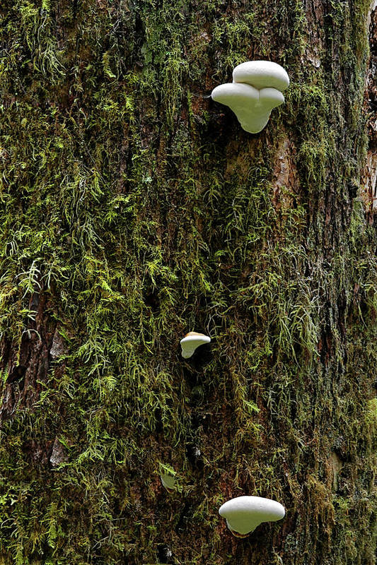 Fungus Art Print featuring the photograph White Mushrooms - Quinault Temperate Rain Forest - Olympic Peninsula Wa by Christine Till