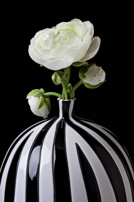 White Art Print featuring the photograph White Ranunculus In Black And White Vase by Garry Gay