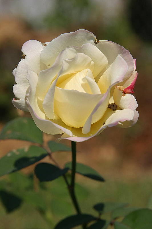 Rose Art Print featuring the photograph White Rose by Donald Tusa