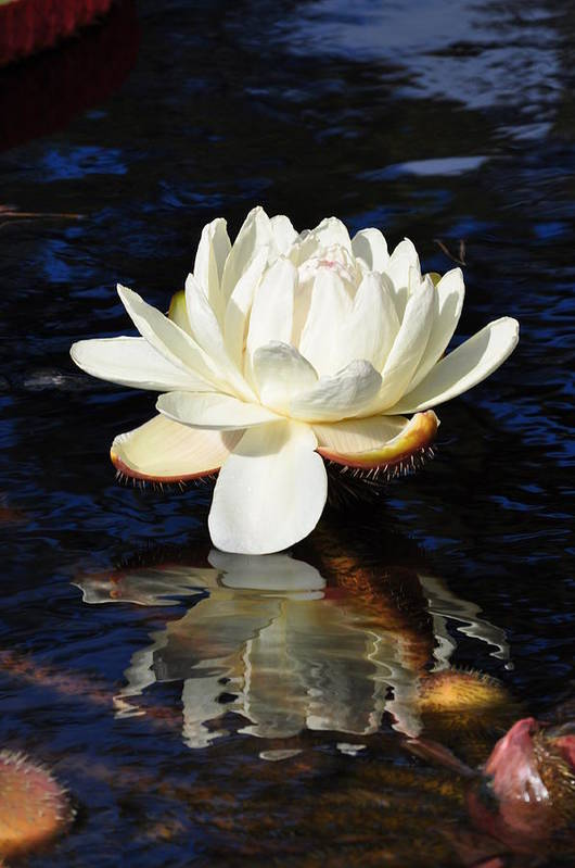 Floral Art Print featuring the photograph White Water Lily by Andrea Everhard