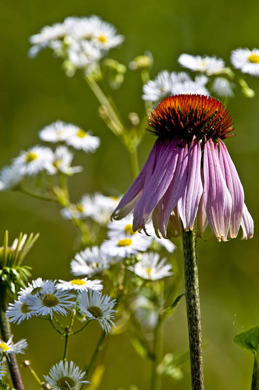Echinacea Art Print featuring the photograph Wildflowers by Michael Cummings
