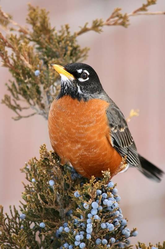 Bird Art Print featuring the photograph Winter Robin by David Dunham